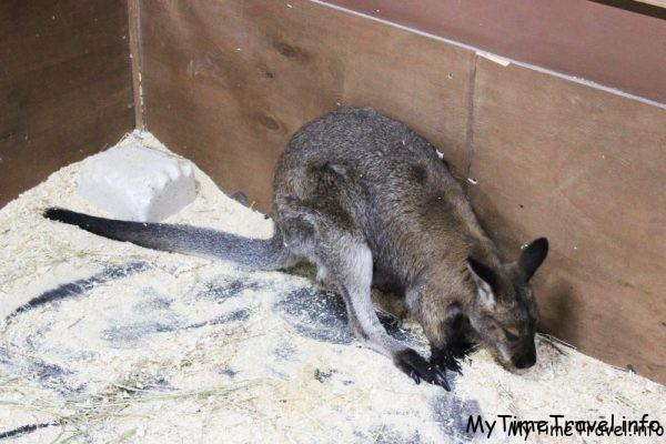 Карликовый кенгуру