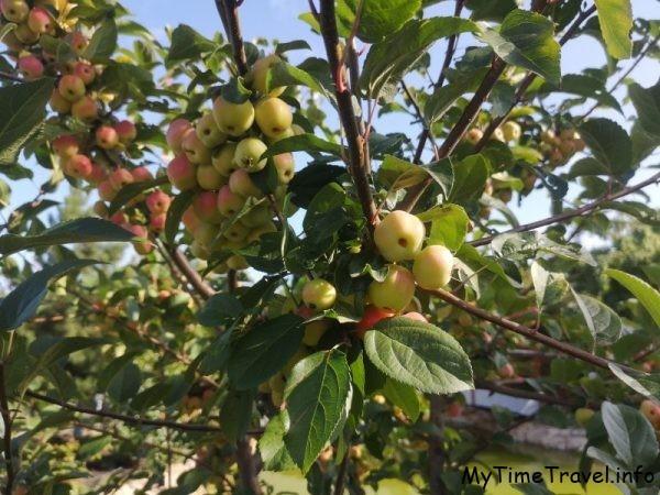 Райские яблочки, фото