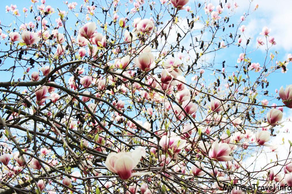 Цветущие магнолии в Ботаническом саду