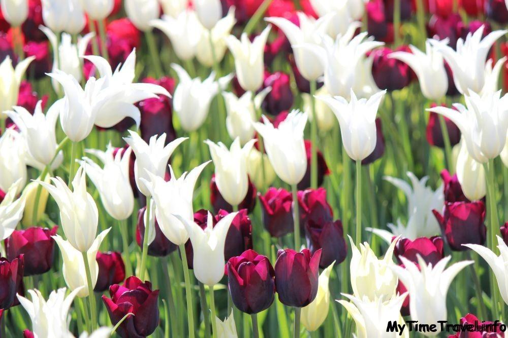 Фестиваль тюльпанов в Киеве
